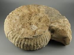 Ammonites (ordre)